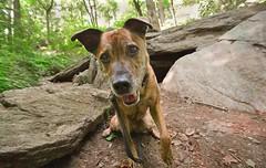 093 (odish3) Tags: sophie pitbullmix pitbull inwoodhillpark inwood