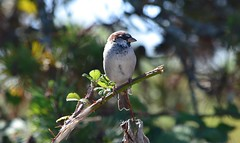 Sparrow (careth@2012) Tags: sparrow wildlife nature perched beak feathers bird britishcolumbia