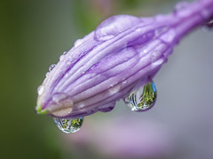 Hosta Flower with Dew (Shannonsong) Tags: dew drops waterdrops lavender flora hosta reflections macro flower garden nature blossom bloom morning