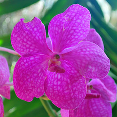 Key West (Florida) Trip 2015 0537Ri sq (edgarandron - Busy!) Tags: florida keys floridakeys keywest keywestgardenclub orchid orchids plants flower flowers
