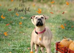 thankful (~ Life As I See it ~) Tags: autumn rescue dog frankie rescued fosterdog adoptable notmydog adoptabledog hss hfar slidersunday