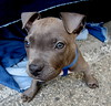 Little Guy (Lucyrk in LA) Tags: california ca new dog pet baby pets brown dogs animal canon puppy la losangeles december sitting good weekend sunday pitbull melrose hollywood sit pup teething seated animalplanet 2014 laist melroseavenue onlyinla melrosetradingpost lucyrendlerkaplan canonpowershotsx40hs lucyrkvisitngla