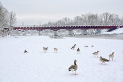 Winter on the Isar (suzanne~) Tags: winter snow cold germany munich geese isar