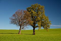 """Old Friends"" (helmet13) Tags: d800e raw landscape allgäu trees greenmeadow bluesky sunshine autumn bavaria aoi heartaward peaceaward 100faves world100f polfilter simplicity"