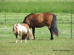 MTM - 14.07.16 (~Life in General~) Tags: horse field grass animal fence landscape outdoor pony hay grassland feild graze