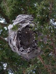 Hornet Nest (Dendroica cerulea) Tags: winter garden newjersey nest nj insects highlandpark arthropoda invertebrate arthropod hymenoptera insecta vespidae hexapoda fav10 vespinae middlesexcounty baldfacedhornet dolichovespulamaculata aculeata vespoidea dolichovespula