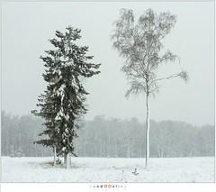 Sneeuwbui op de Stippelberg (NH020480) (nandOOnline) Tags: winter bomen sneeuw nederland natuur boom landschap sneeuwvlokken rips sneeuwbui nbrabant stippelberg