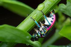 Jewel bug, Scutelleridae (Anthony Kei C) Tags: jewelbug scutelleridae my14