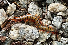 Redheaded Centipede, Singapore (singaporebugtracker) Tags: sting fangs centipede millipede creepycrawlies swelling macroinsect exoticpets maxillipeds redheadedcentipede fearsomecreatures admiraltyforest singaporebugtracker thousandleggers poisonjaws venomouscritters