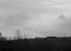 Murmurations (Yazz2) Tags: bird starling murmuration 2015 wolsingham