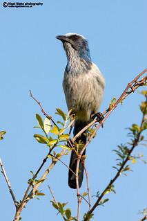 Florida Scrub Jay, Aphelocoma coerulescens