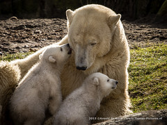 Newborn Polarbears (Thoran Pictures (Thx for more then 3.5 million vie) Tags: bear baby beer animal photography zoo twins pentax polarbear newborn cubs ijsbeer k3 dierentuin ijsberen pentaxart sigma50500mm1463apodg madebythoranpictures theuseofanyoftheimagesinthissetwithoutpriorwrittenpermissionisprohibitedwiththeexceptionofpersonalusebytheindividualsportrayedtherein