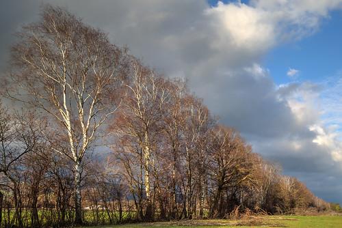 Birch hedge opposing dramatic sky