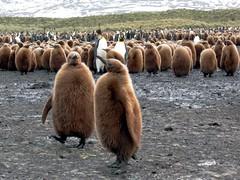 King Penguin Chicks (D-Stanley) Tags: island penguin king chicks southgeorgia salisburyplain
