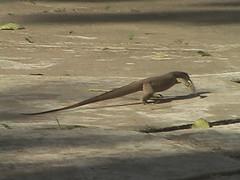 Lizard Kataragama Sri Lanka
