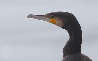 Corvo marinho - Phalacrocorax carbo - Cormorant