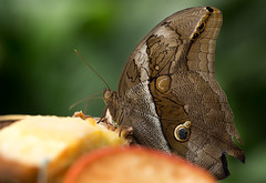 Butterfly (paulafrenchp) Tags: