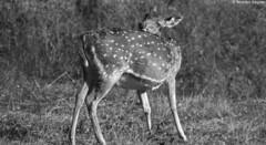 Deer (Wild Trails | Bharani Raghav Photography) Tags: tree nature forest nationalpark deer spotted tigerreserve