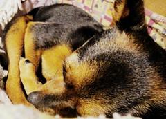 DSC05973 (HaidyG) Tags: pucca mydog littlething