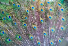 front peacock feathers (joybidge) Tags: feathers peacock victoriabc beaconhillpark naturepatternscanada trishcanada tsfeb82015