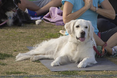 """Dogi yoga-8 • <a style=""""font-size:0.8em;"""" href=""""http://www.flickr.com/photos/25952605@N03/16374509951/"""" target=""""_blank"""">View on Flickr</a>"""