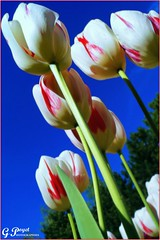 LE PRINTEMPS DES TULIPES (Gilles Poyet photographies) Tags: soe auvergne clermontferrand autofocus tulipes aplusphoto artofimages parcdemontjuzet rememberthatmomentlevel1