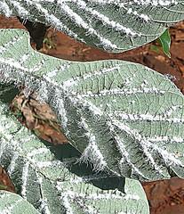 Thamnomyces sp.? (Dick Culbert) Tags: argentina iguazu fugus taxonomy:family=xylariaceae thamnomyces cecropialeaf taxonomy:binomial=thamnomycessp geo:long=54545 geo:lat=2560