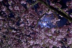 Minamiizu031 (Kosei.S) Tags: pink light moon flower tree up japan night season cherry japanese spring nikon blossom sakura shizuoka d800 minamiizu