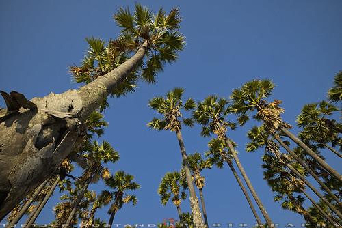 Palm trees at Lasiana Beach, Kupang