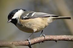 Coal Tit (Kentish Plumber) Tags: uk england bird nature woodland countryside kent tit wildlife perched southeast birdwatcher southernengland coaltit periparusater nbw bwg birdwatchinggroup