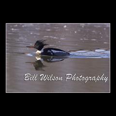 Red-breasted Merganser (wildlifephotonj) Tags: bird nature birds duck wildlife ducks naturephotography mergansers merganser naturephotos redbreastedmerganser wildlifephotography wildlifephotos redbreastedmergansers natureprints wildlifephotographynj naturephotographynj