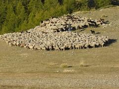 P1050156 (Franois Magne) Tags: wild camp mountain color nature montagne alpes landscape wolf conservation loup protection mouton chiens berger sauvage pyrenes transhumance alpage troupeau patou ferus molosse estive pastoralisme patous pastoraloup