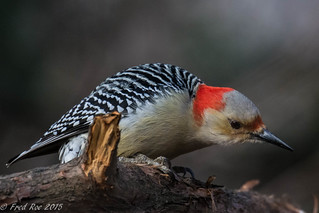 Red-bellied Woodpecker [Melanerpes carolinus]