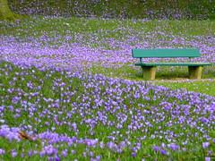 Platz nehmen- take a seat (Anke knipst(offline)) Tags: flower germany bench bank crocus lila explore blume schlosspark krokus schleswigholstein husum