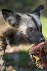 Wild dog and meat