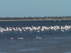 Flamingos Off Djerba Tunisia