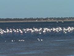 Flamingos Off Djerba Tunisia