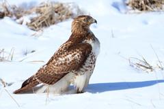 IMG_4810-1 Red-tailed Hawk (John Pohl2011) Tags: bird canon john raptor 100400mm birdofprey pohl perching t4i 100400mmlens canont4i
