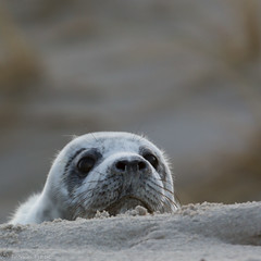 What's going on there? (Thomas Frejek) Tags: winter baby deutschland seal schleswigholstein halichoerusgrypus greyseal helgoland 2015 kegelrobbe
