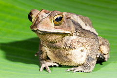 Cane Toad (Garrett Lau) Tags: cane giant marine costarica toad canetoad neotropical