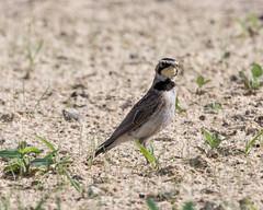 Horned Lark (Eremophila alpestris) (mesquakie8) Tags: bird illinois juvenile rockford hola lark hornedlark eremophilaalpestris winnebagocounty 6416 rockfordairport feedingalongaconstructionsite