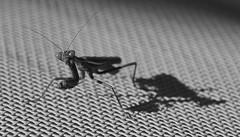 mantis on texture, B&W (robra shotography []O]) Tags: mantidereligiosa macrotextures macromondays mantis nikon macro closeup prayingmantis bn bw archive monochrome 18105mm