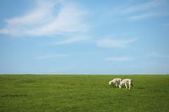 3 (ben-hall) Tags: blue summer sky nature field countryside sheep fuck lamb bucolic