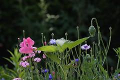 ckuchem-4113 (christine_kuchem) Tags: sommer rosa blumen saat garten kornblume sonnenblume mohn blumenbeet sommerblumen mischung naturgarten kuhkraut vaccariahispanica blumenmischung kuhnelke