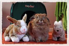 Welcome to the Hop Inn (Pog's pix) Tags: dusty toys cute friends three hopinn indoors indoor inside houserabbit bunny bunnies scotland ayrshire stewarton eastayrshire housebunny sweet together