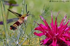 SP Hummingbird Moth 71616 (maerlyn8) Tags: canon 2016 july macro 100mm hummingbirdmoth sphinxmoth moth insect bug pretty flower nectar hummingbirdclearwingmoth clearwingmoth clearwing southpark pa pennsylvania demonstrationgarden