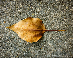 178366  26 June 2016  dry leaf on concrete (Doug Churchill) Tags: 365 366 sonyrx100m3 alone arid cement closeup closeups concrete dead death deaths dry foliage highangleview highangleviews highcontrast leaf leaflet loneliness lonely macro macromondays macros melancholy project project366 sad sadness