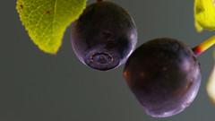 Vaccinium myrtillus   [DSC01006a] (SeppoU) Tags: leica plant macro suomi finland prime berry sony experiment blueberry makro bellows kasvi marja macroelmar lohja leitz mustikka vacciniummyrtillus kokeilu palje nex5n vakiopolttovli