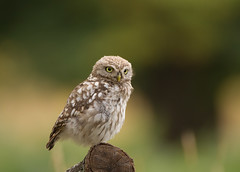 Little-Owl-Juv-4887 (Kulama) Tags: littleowl owl birds birdsofprey nature wildlife woods land grass summer canon7d sigma150600c563