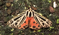 Virgin Tiger Moth - Hodges#8197 (Grammia virgo) (July 26, 2016) (12 of 12) (Andre Reno Sanborn) Tags: grammiavirgo hodges8197 virgintigermoth barton vermont unitedstates